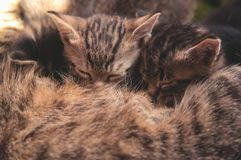 Kittens will suck milk. From a cat Royalty Free Stock Photo
