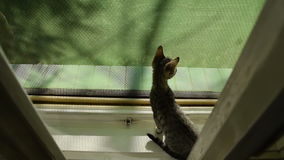 Kittens on the window afraid but exploring. A Kittens on the window afraid but exploring stock footage