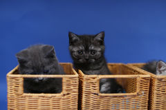 Kittens in a wooden crate, close-up view Royalty Free Stock Images