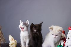 Kittens yawn, cats, black , white cat, kitten royalty free stock images
