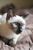 KittenSiamese type ,Mekong bobtail  lies on a cover Royalty Free Stock Photo