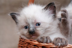 Kitties In Basket Royalty Free Stock Photo