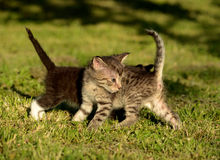 Kitties playing Royalty Free Stock Image