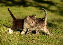 Kitties playing Royalty Free Stock Image