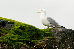Kittiwake. Black-Legged Kittiwake Standing on Seaweed Covered Cliff Edge royalty free stock photo