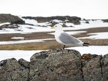 Kittiwake - Arctic bird Royalty Free Stock Image