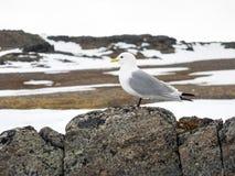 Kittiwake - Arktyczny ptak Obraz Royalty Free