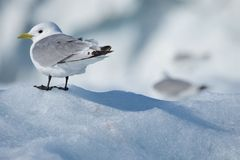 Kittiwake casting a shadow on ice floe Royalty Free Stock Images