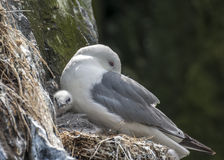 Kittiwake With Chick Royalty Free Stock Images