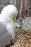 Kittiwake and chick Royalty Free Stock Photos