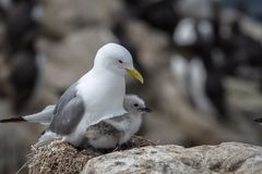 Kittiwake and chick. Kittiwake Rissa tridactyla nesting with young chick stock images