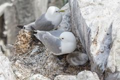 Kittiwake and chick Stock Images