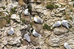Kittiwake. On the cliffs at bempton cliffs breeding colony England royalty free stock photo