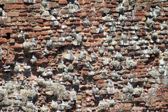 Kittiwake colony on Dunbar Castle ruins, Scotland. Royalty Free Stock Images