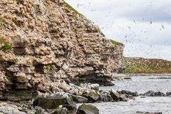 Kittiwake Colony. Kittiwake Breeding Colony Along Coastal Cliff With Hundreds Of Kittiwakes On Cliff And In Air, Ekkeroy Nature Reserve, Varanger, Norway stock photography