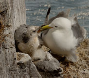Kittiwake feeding her chick. A female Kittiwake feeds one of her two chicks at Bempton Cliffs, Yorkshire, England Stock Images