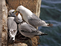 Kittiwake feeds her chicks. A female Kittiwake feeding her two young on the Farne Islands in Northumberland, England Royalty Free Stock Photography