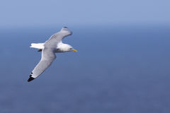 Kittiwake in flight Royalty Free Stock Images