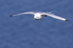Kittiwake in flight Royalty Free Stock Photography