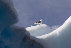Kittiwake on a glacier Royalty Free Stock Images