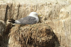 Kittiwake. Gull nesting on rock royalty free stock images