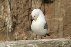 Kittiwake. Gull preaning on rock stock photography