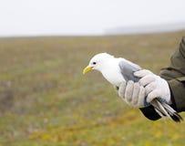 Kittiwake in hands of ornithologist before ringing Royalty Free Stock Image