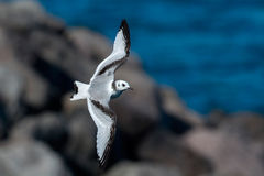 Kittiwake juvenile Royalty Free Stock Photo