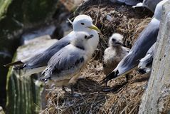 Kittiwake med fågelungar Arkivfoton