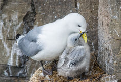 Kittiwake mother and chick, Latrabjarg cliffs, Iceland Stock Photography