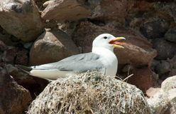 Kittiwake on Nest. Kittiwake (Rissa Tridactyla) on nest on cliff face royalty free stock image