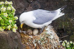 Kittiwake on a nest with two eggs Royalty Free Stock Images