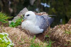 Kittiwake on a nest with two eggs Stock Photography