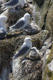 Kittiwake nests Royalty Free Stock Image