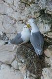 Kittiwake pair on cliff nest Stock Photos