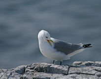 Kittiwake preening. Black-legged Kittiwake preening on rocky cliff on Inner Farne, off the Northumberland coast royalty free stock images