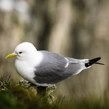 Kittiwake - Rissa - Gull. The kittiwakes are two closely related seabird species in the gull family Laridae, the black-legged kittiwake and the red-legged royalty free stock images
