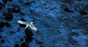 Kittiwake (Rissa tridactyla). Bempton Cliffs, East Riding of Yorkshire, England royalty free stock photos