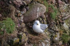 Kittiwake Rissa tridactyla on the cliffs of the Isle of May. Kittiwake Rissa tridactyla nesting on the sea cliffs stock photography