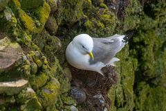 Kittiwake Rissa tridactyla on the cliffs of the Isle of May. Kittiwake Rissa tridactyla nesting on the sea cliffs stock photo