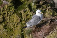 Kittiwake Rissa tridactyla on the cliffs of the Isle of May. Kittiwake Rissa tridactyla standing on the cliffs royalty free stock photo