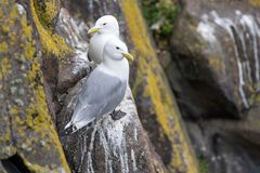 Kittiwake Rissa tridactyla on the cliffs of the Isle of May. Kittiwake Rissa tridactyla standing on the cliffs royalty free stock image