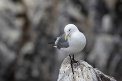 Kittiwake Rissa tridactyla on the cliffs of the Isle of May. Kittiwake Rissa tridactyla standing on the cliffs stock photos
