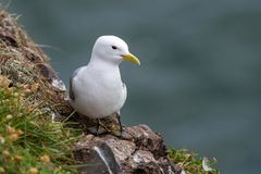 Kittiwake Rissa tridactyla on the cliffs of the Isle of May. Kittiwake Rissa tridactyla standing on the cliffs royalty free stock photos