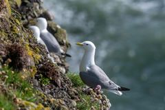 Kittiwake Rissa tridactyla on the cliffs of the Isle of May. Kittiwake Rissa tridactyla standing on the cliffs stock photography
