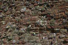 Kittiwake, Rissa tridactyla. Colony at Dunbar, Dunbar, UK royalty free stock photography