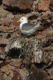 Kittiwake, Rissa tridactyla. Single bird on nest, Dunbar, UK stock images