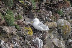 Kittiwake Rissa tridactyla on the cliffs of the Isle of May. Kittiwake Rissa tridactyla standing on the cliffs stock image