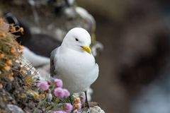 Kittiwake Rissa tridactyla standing on the cliffs. Kittiwake Rissa tridactyla on the cliffs of the Isle of May stock images