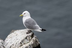 Kittiwake Rissa tridactyla on the cliffs of the Isle of May. Kittiwake Rissa tridactyla standing on the cliffs royalty free stock photography